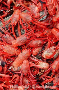 Pelagic red tuna crabs, washed ashore to form dense piles on the beach, Pleuroncodes planipes, Ocean Beach, California