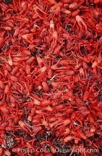 Pelagic red tuna crabs, washed ashore to form dense piles on the beach, Pleuroncodes planipes, Ocean Beach, California