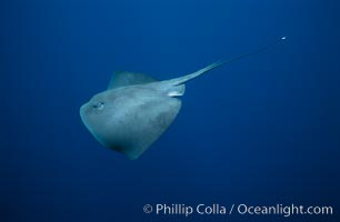 Pelagic stingray, open ocean. San Diego, California, USA, Pteroplatytrygon violacea, natural history stock photograph, photo id 02108