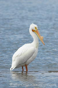 White pelican, breeding adult with fibrous plate on upper mandible of bill, Batiquitos Lagoon, Pelecanus erythrorhynchos, Carlsbad, California