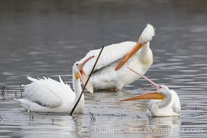 White pelicans. San Elijo Lagoon, Encinitas, California, USA, Pelecanus erythrorhynchos, natural history stock photograph, photo id 15726
