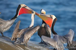 Brown pelicans, males in breeding plumage with bright red gular pouches, socializing, using bills to intimidate one another, Pelecanus occidentalis, Pelecanus occidentalis californicus, La Jolla, California