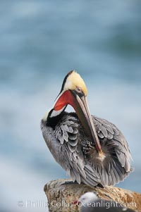 A brown pelican preening, reaching with its beak to the uropygial gland (preen gland) near the base of its tail.  Preen oil from the uropygial gland is spread by the pelican's beak and back of its head to all other feathers on the pelican, helping to keep them water resistant and dry. La Jolla, California, USA, Pelecanus occidentalis, Pelecanus occidentalis californicus, natural history stock photograph, photo id 15229