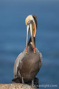 Brown pelican preening.  After wiping its long beak on the uropygial gland near the base of its tail, the pelican spreads the preen oil on feathers about its body, helping to keep them water resistant, an important protection for a bird that spends much of its life diving in the ocean for prey. La Jolla, California, USA, Pelecanus occidentalis, Pelecanus occidentalis californicus, natural history stock photograph, photo id 18381