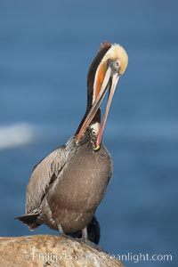 Image 18383, Brown pelican preening.  After wiping its long beak on the uropygial gland near the base of its tail, the pelican spreads the preen oil on feathers about its body, helping to keep them water resistant, an important protection for a bird that spends much of its life diving in the ocean for prey. La Jolla, California, USA, Pelecanus occidentalis, Pelecanus occidentalis californicus, Phillip Colla, all rights reserved worldwide.   Keywords: animal:animalia:aves:bird:brown pelican:california:chordata:endangered:la jolla:occidentalis:pelecanidae:pelecaniform:pelecaniformes:pelecanus:pelecanus occidentalis:pelecanus occidentalis californicus:pelican:preen:preen gland:preen oil:preening:seabird:seabird behavior:uropygial gland:usa:vertebrata:vertebrate.