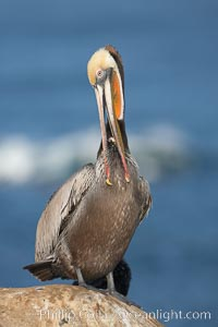 Brown pelican preening.  After wiping its long beak on the uropygial gland near the base of its tail, the pelican spreads the preen oil on feathers about its body, helping to keep them water resistant, an important protection for a bird that spends much of its life diving in the ocean for prey. La Jolla, California, USA, Pelecanus occidentalis, Pelecanus occidentalis californicus, natural history stock photograph, photo id 18384