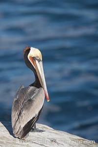 California brown pelican perched on sea cliff overlooking the ocean, Pelecanus occidentalis, Pelecanus occidentalis californicus, La Jolla