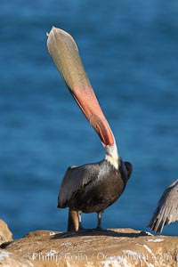 California brown pelican, head throw to stretch out its throat, winter mating plumage, Pelecanus occidentalis, Pelecanus occidentalis californicus, La Jolla