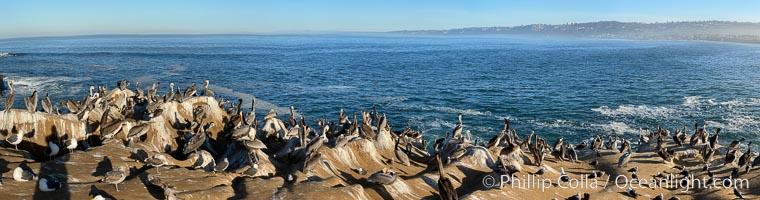 Colony of Pelicans resting at sunrise on La Jolla Cliffs, Pelecanus occidentalis californicus, Pelecanus occidentalis