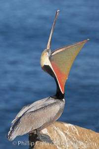 Brown pelican head throw.  During a bill throw, the pelican arches its neck back, lifting its large bill upward and stretching its throat pouch. La Jolla, California, USA, Pelecanus occidentalis, Pelecanus occidentalis californicus, natural history stock photograph, photo id 20258