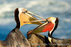 Two California brown pelicans mock jousting, displaying vividly-colored throat skin and mating plumage, La Jolla