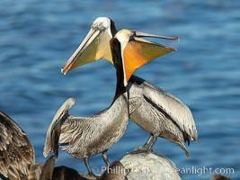 Two California brown pelicans mock jousting, displaying vividly-colored throat skin and mating plumage, Pelecanus occidentalis californicus, Pelecanus occidentalis, La Jolla