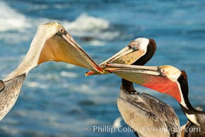 Three California brown pelicans mock jousting, displaying vividly-colored throat skin and mating plumage, Pelecanus occidentalis californicus, Pelecanus occidentalis, La Jolla