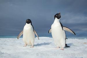 Image 25115, Two Adelie penguins, holding their wings out, standing on an iceberg. Paulet Island, Antarctic Peninsula, Antarctica, Pygoscelis adeliae, Phillip Colla, all rights reserved worldwide.   Keywords: adeliae:adelie:adelie penguin:animal:animalia:antarctic peninsula:antarctica:aves:berg:bird:brush-tailed penguin:chordata:cold:frozen:ice:ice berg:iceberg:oceans:paulet island:penguin:pygoscelis:pygoscelis adeliae:sea bird:seabird:southern ocean:spheniscidae:sphenisciformes:vertebrata:vertebrate:water:wildlife.