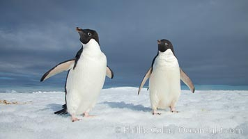 Two Adelie penguins, holding their wings out, standing on an iceberg. Paulet Island, Antarctic Peninsula, Antarctica, Pygoscelis adeliae, natural history stock photograph, photo id 25116