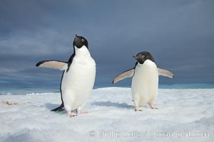 Two Adelie penguins, holding their wings out, standing on an iceberg. Paulet Island, Antarctic Peninsula, Antarctica, Pygoscelis adeliae, natural history stock photograph, photo id 25118