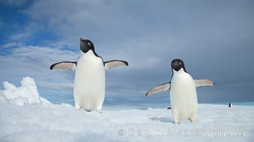 Two Adelie penguins, holding their wings out, standing on an iceberg. Paulet Island, Antarctic Peninsula, Antarctica, Pygoscelis adeliae, natural history stock photograph, photo id 25119