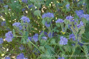 Wild heliotrope, Glorietta Canyon.  Heavy winter rains led to a historic springtime bloom in 2005, carpeting the entire desert in vegetation and color for months, Phacelia distans, Anza-Borrego Desert State Park, Borrego Springs, California