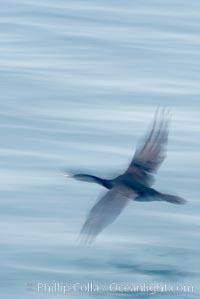 Cormorant in flight, wings blurred by time exposure, Phalacrocorax, La Jolla, California