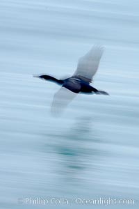Cormorant in flight, blurred as it speeds over the ocean. La Jolla, California, USA, Phalacrocorax, natural history stock photograph, photo id 18464