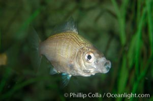 White seaperch, Phanerodon furcatus