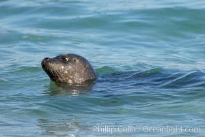 A Pacific harbor seal swims in the Childrens Pool in La Jolla, Phoca vitulina richardsi