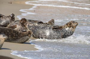 Pacific harbor seals hauled out on a sandy beach.  This group of harbor seals, which has formed a breeding colony at a small but popular beach near San Diego, is at the center of considerable controversy.  While harbor seals are protected from harassment by the Marine Mammal Protection Act and other legislation, local interests would like to see the seals leave so that people can resume using the beach, Phoca vitulina richardsi, La Jolla, California