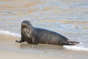 A Pacific harbor seal leaves the surf to haul out on a sandy beach.  This group of harbor seals, which has formed a breeding colony at a small but popular beach near San Diego, is at the center of considerable controversy.  While harbor seals are protected from harassment by the Marine Mammal Protection Act and other legislation, local interests would like to see the seals leave so that people can resume using the beach, Phoca vitulina richardsi, La Jolla, California
