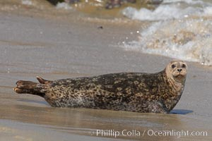 A Pacific harbor seal hauled out on a sandy beach.  This group of harbor seals, which has formed a breeding colony at a small but popular beach near San Diego, is at the center of considerable controversy.  While harbor seals are protected from harassment by the Marine Mammal Protection Act and other legislation, local interests would like to see the seals leave so that people can resume using the beach, Phoca vitulina richardsi, La Jolla, California