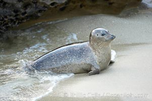A Pacific harbor seal leaves the surf to haul out on a sandy beach.  This group of harbor seals, which has formed a breeding colony at a small but popular beach near San Diego, is at the center of considerable controversy.  While harbor seals are protected from harassment by the Marine Mammal Protection Act and other legislation, local interests would like to see the seals leave so that people can resume using the beach. La Jolla, California, USA, Phoca vitulina richardsi, natural history stock photograph, photo id 15548