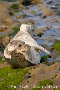 A Pacific harbor seal is hauled out to rest on the rocks.  This group of harbor seals, which has formed a breeding colony at a small but popular beach near San Diego, is at the center of considerable controversy.  While harbor seals are protected from harassment by the Marine Mammal Protection Act and other legislation, local interests would like to see the seals leave so that people can resume using the beach, Phoca vitulina richardsi, La Jolla, California