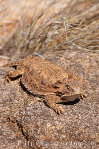 Horned lizard.  When threatened, the horned lizard can squirt blood from its eye at an attacker up to 5 feet away, Phrynosoma, Amado, Arizona