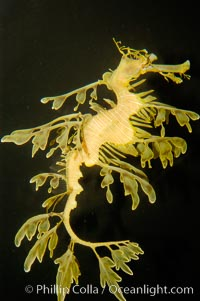 Leafy Seadragon., Phycodurus eques, natural history stock photograph, photo id 09424