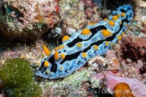 Phyllidia coelestis nudibranch, Fiji, Phyllidia coelestis, Namena Marine Reserve, Namena Island