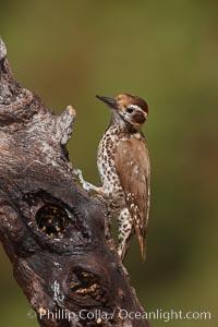 Arizona woodpecker, male. Madera Canyon Recreation Area, Green Valley, Arizona, USA, Picoides arizonae, natural history stock photograph, photo id 22972