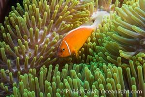 Pink Anemonefish (Amphiprion perideraion), Amphiprion perideraion, Wakaya Island, Lomaiviti Archipelago, Fiji