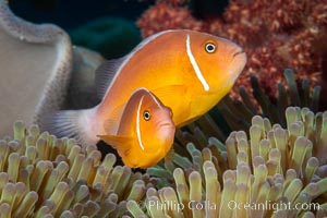 Pink Skunk Anemone Fish, Amphiprion perideraion, Fiji. Fiji, Amphiprion perideraion, natural history stock photograph, photo id 34746