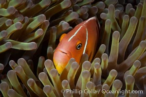 Image 34861, Pink Skunk Anemone Fish, Amphiprion perideraion, Fiji., Amphiprion perideraion, Phillip Colla, all rights reserved worldwide. Keywords: amphiprion perideraion, bligh waters, coral reef, fiji, fiji islands, fijian islands, ocean, pacific, pink anemonefish, pink skunk anemonefish, reef, south pacific, underwater, vatu i ra, vatu i ra passage, viti levu.