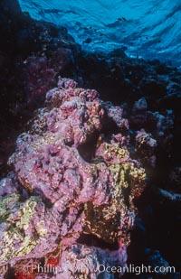 Pink Porolithon Coralline Algae, Rose Atoll, Rose Atoll National Wildlife Sanctuary