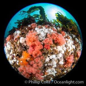 Pink Soft Coral (Gersemia Rubiformis), and Plumose Anemones (Metridium senile) cover the ocean reef, Browning Pass, Vancouver Island, Metridium senile, Gersemia rubiformis