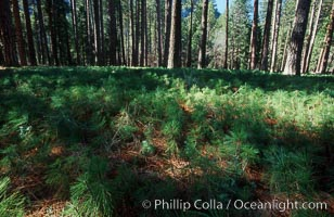 Pine tree seedlings cover forest floor, Yosemite Valley, Pinus contortus, Yosemite National Park, California