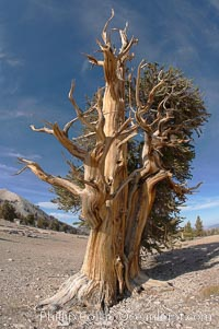 Image 17484, Bristlecone pine rising above the arid, dolomite-rich slopes of the White Mountains at 11000-foot elevation. Patriarch Grove, Ancient Bristlecone Pine Forest. White Mountains, Inyo National Forest, California, USA, Pinus longaeva, Phillip Colla, all rights reserved worldwide. Keywords: ancient, ancient bristlecone, ancient bristlecone pine forest, ancient bristlecone pine tree, bristlecone, bristlecone pine, bristlecone pine tree, california, dolomite, environment, forest, gnarled, great basin bristlecone pine, grove, growth, inyo national forest, lifespan, longevity, mountain, national forests, nature, old, old growth, outdoors, outside, patriarch grove, pine, pine tree, pinus longaeva, plant, rock, soil, terrestrial plant, time, tree, twisted, usa, western bristlecone pine, white mountains, white mountains inyo national forest.