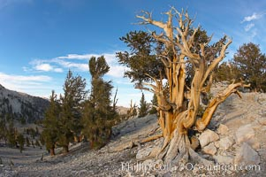 Bristlecone pine displays its characteristic gnarled, twisted form as it rises above the arid, dolomite-rich slopes of the White Mountains at 11000-foot elevation. Patriarch Grove, Ancient Bristlecone Pine Forest, Pinus longaeva, White Mountains, Inyo National Forest
