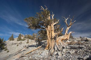 Bristlecone pine rising above the arid, dolomite-rich slopes of the White Mountains at 11000-foot elevation. Patriarch Grove, Ancient Bristlecone Pine Forest. White Mountains, Inyo National Forest, California, USA, Pinus longaeva, natural history stock photograph, photo id 17493