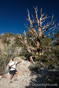 A hiker admires an ancient bristlecone pine tree, on the Methuselah Walk in the Schulman Grove in the White Mountains at an elevation of 9500 above sea level.  The oldest bristlecone pines in the world are found in the Schulman Grove, some of them over 4700 years old. Ancient Bristlecone Pine Forest. White Mountains, Inyo National Forest, California, USA, Pinus longaeva, natural history stock photograph, photo id 23238