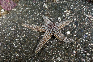 A starfish (sea star) on the sandy bottom, Pisaster giganteus, Santa Barbara Island