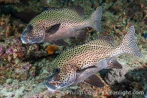 Plectorhinchus chaetodonoides, Many-spotted sweetlips, Fiji, Plectorhinchus chaetodonoides, Bligh Waters