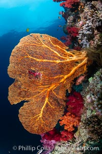 Plexauridae sea fan or gorgonian on coral reef. This gorgonian is a type of colonial alcyonacea soft coral that filters plankton from passing ocean currents, Gorgonacea, Gau Island, Lomaiviti Archipelago, Fiji