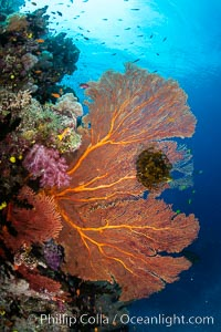 Plexauridae sea fan or gorgonian on coral reef. This gorgonian is a type of colonial alcyonacea soft coral that filters plankton from passing ocean currents, Gorgonacea, Namena Marine Reserve, Namena Island, Fiji