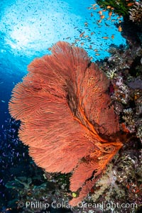 Plexauridae sea fan or gorgonian on coral reef. This gorgonian is a type of colonial alcyonacea soft coral that filters plankton from passing ocean currents, Gorgonacea, Bligh Waters, Fiji